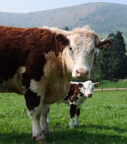 A cow and calf